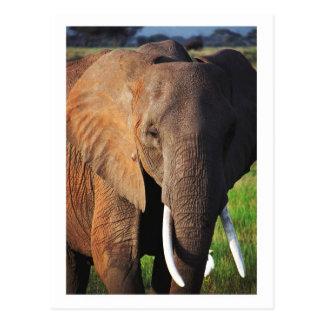 Cartão Postal Elefante no parque nacional de Amboseli, Kenya