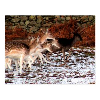 Cartão Postal Em suas marcas (cervos)
