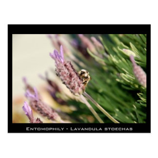 Cartão Postal Entomophily - stoechas do Lavandula