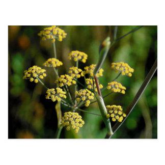 Cartão Postal Erva-doce de florescência
