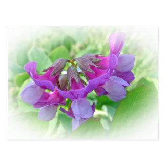 Cartão Postal Ervilha de praia - Lathyrus japonicus - Wildflower