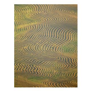 Cartão Postal Ervilhas da lentilha windrowed e que esperam a