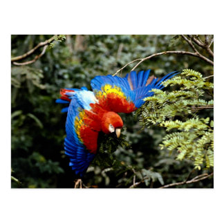 Cartão Postal Escarlate do macaw