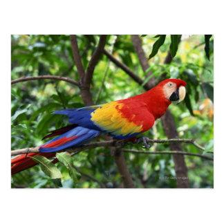 Cartão Postal Escarlate do macaw no membro de árvore