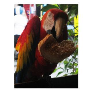 Cartão Postal Escarlate do papagaio do Macaw que come o brinde