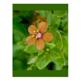 Cartão Postal Escarlate do Wildflower do Pimpernel