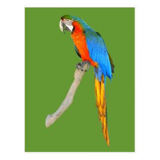 Cartão Postal Escarlate isolado do macaw