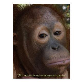 Cartão Postal Espécie em vias de extinção de orangotango dos