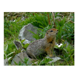 Cartão Postal Esquilo de Parkee, ilha de Unalaska