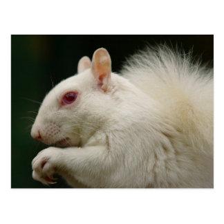 Cartão Postal Esquilo do cinza do albino