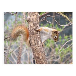Cartão Postal Esquilo vermelho americano