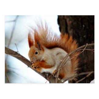 Cartão Postal Esquilo vermelho na pele do inverno