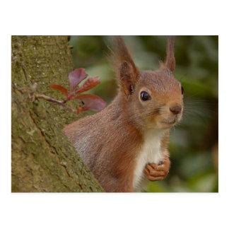Cartão Postal Esquilo vermelho pernicioso