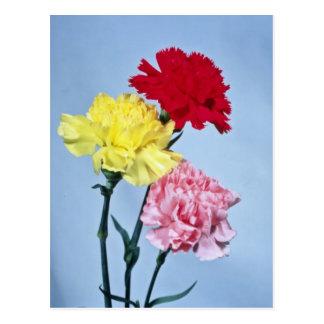 Cartão Postal Estudo vermelho do cravo nas flores brancas