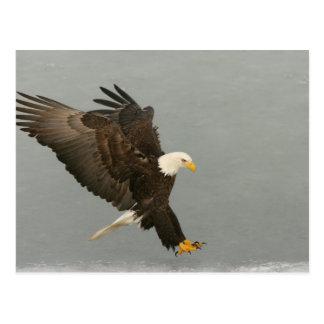 Cartão Postal EUA, Alaska, local. Águia americana na aterragem