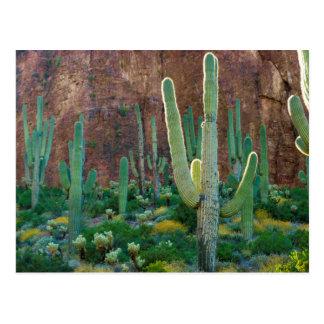 Cartão Postal EUA, arizona. Campo do cacto do Saguaro por um