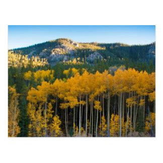 Cartão Postal EUA, Colorado. Álamos tremedores amarelos
