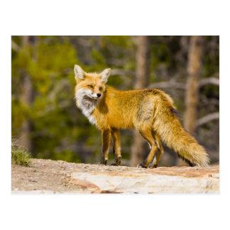 Cartão Postal EUA, Colorado, Breckenridge. Retrato da raposa