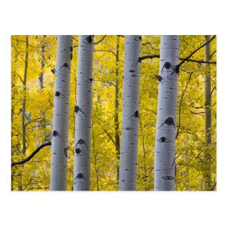 Cartão Postal EUA, Colorado, suporte de Aspen do outono perto do