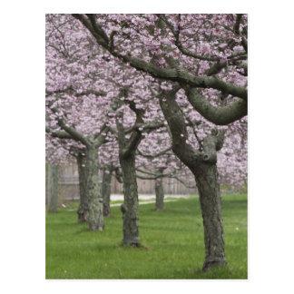 Cartão Postal EUA, New York, Hampton do leste. Árvores de cereja