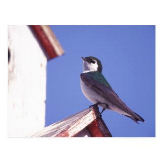 Cartão Postal EUA, Oregon. Andorinha Violeta-Verde Tachycineta