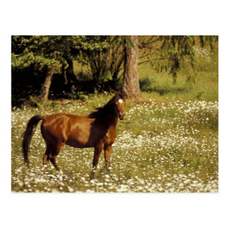 Cartão Postal EUA, Oregon. Cavalo no campo das margaridas