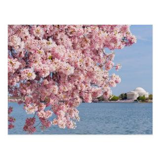 Cartão Postal EUA, Washington DC, árvore de cereja