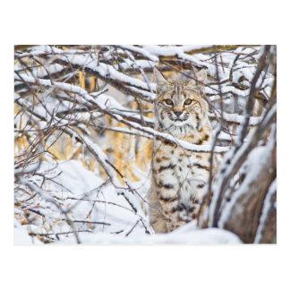 Cartão Postal EUA, Wyoming, lince que senta-se em coberto de
