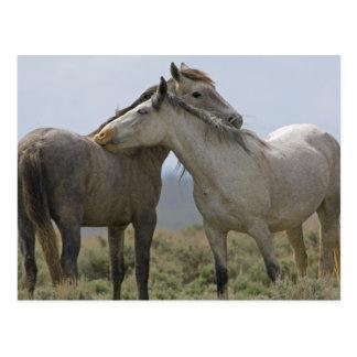 Cartão Postal EUA, Wyoming, o Condado de Carbon. Cavalos