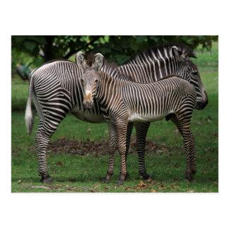 Cartão Postal Família da zebra