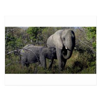 Cartão Postal Família do elefante africano