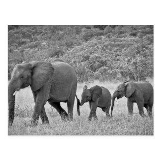 Cartão Postal Família do sul - elefantes africanos