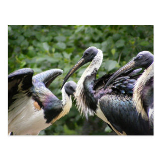 Cartão Postal Faz você jardim zoológico? íbis Palha-necked