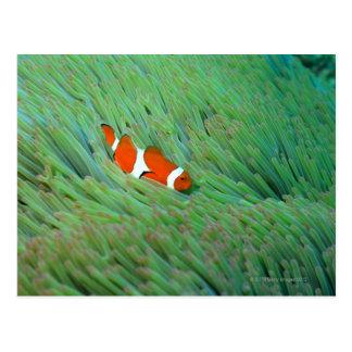 Cartão Postal Feche acima de um peixe de anêmona do palhaço,