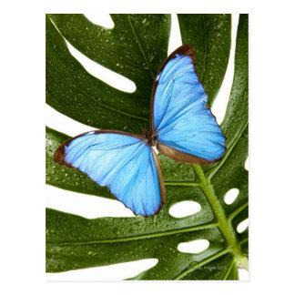 Cartão Postal Feche acima de uma borboleta azul de Morpho em uma