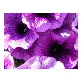 Cartão Postal Fileira de petúnias roxos