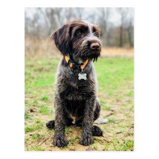 Cartão Postal Filhote de cachorro apontar Griffon Wirehaired