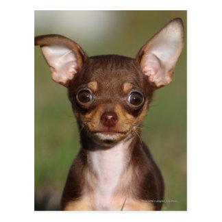 Cartão Postal Filhote de cachorro da chihuahua que olha a câmera