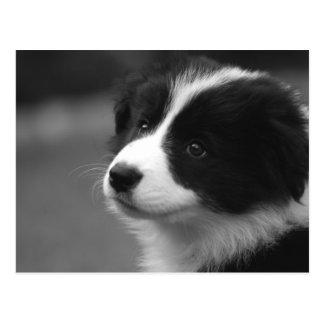 Cartão Postal Filhote de cachorro de border collie