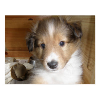Cartão Postal Filhote de cachorro de Sheltie do Sable