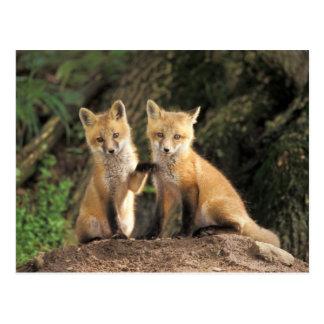 Cartão Postal Filhote de cachorro do Fox vermelho na frente do