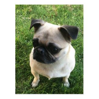 Cartão Postal Filhote de cachorro do Pug