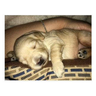 Cartão Postal Filhote de cachorro do sono GoldenDoodle
