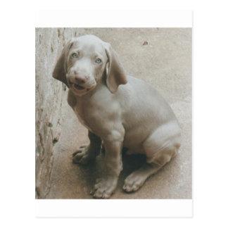 Cartão Postal filhote de cachorro do weimaraner bonito