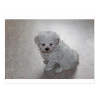 Cartão Postal filhote de cachorro maltês