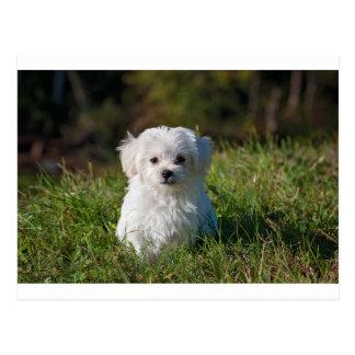 Cartão Postal filhote de cachorro maltês na grama