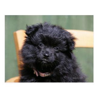 Cartão Postal Filhote de cachorro preto de Pomeranian