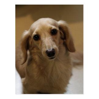 Cartão Postal Filhote de cachorro tão bonito de Dachschund