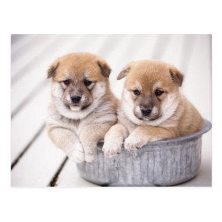 Cartão Postal Filhotes de cachorro de Shiba Inu na cuba de