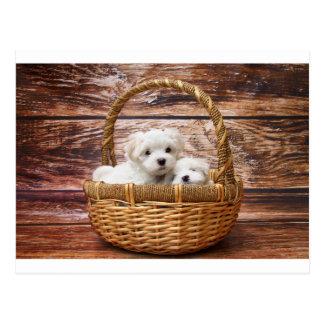 Cartão Postal filhotes de cachorro malteses na cesta